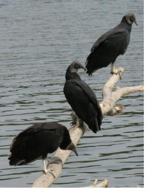 3 Vultures on the Potomac River