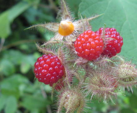 photo of wineberries