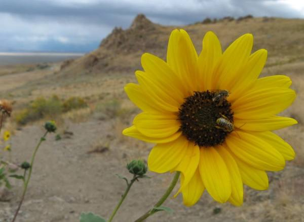 Yellow flower on Antelope Island